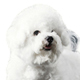 Bichon Frise Photo